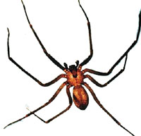 brown-recluse-malespider1